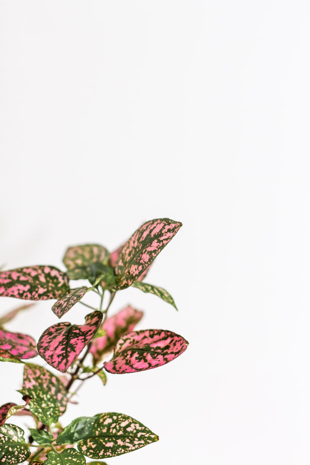 red and black butterfly on white background