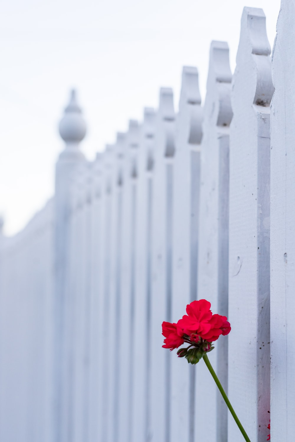 red rose on white wooden fence