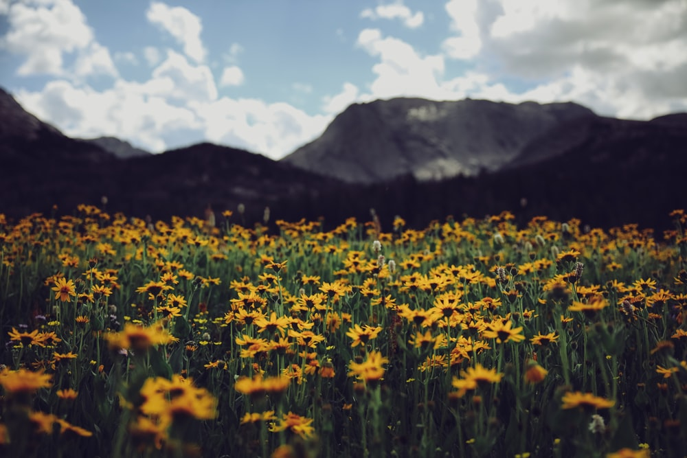 yellow flower field near mountain during daytime