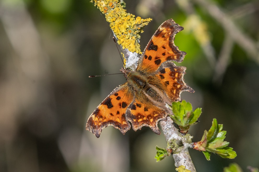 Comma butterfly on branch
