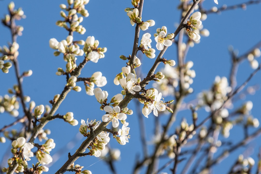 spring blossom and blue skies