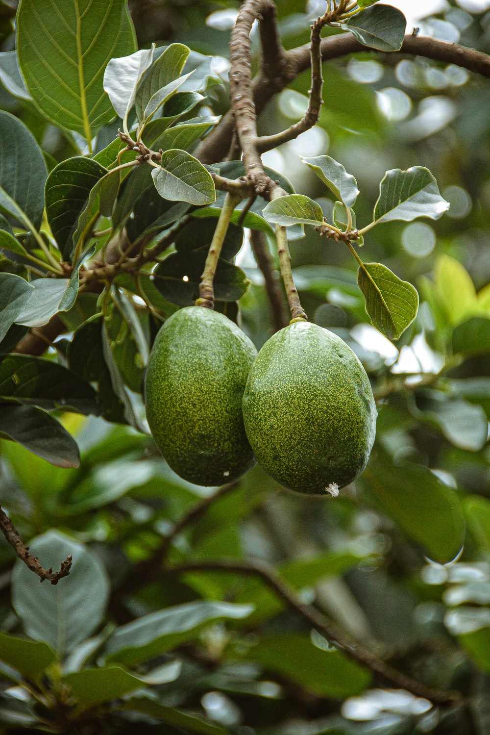 green round fruit on tree, type B avocado