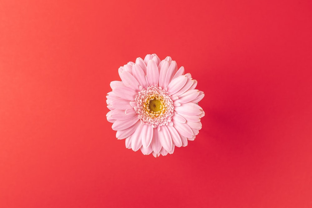 pink and white flower on red background