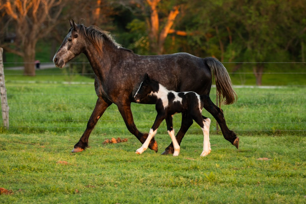 black and white horse running on green grass field during daytime