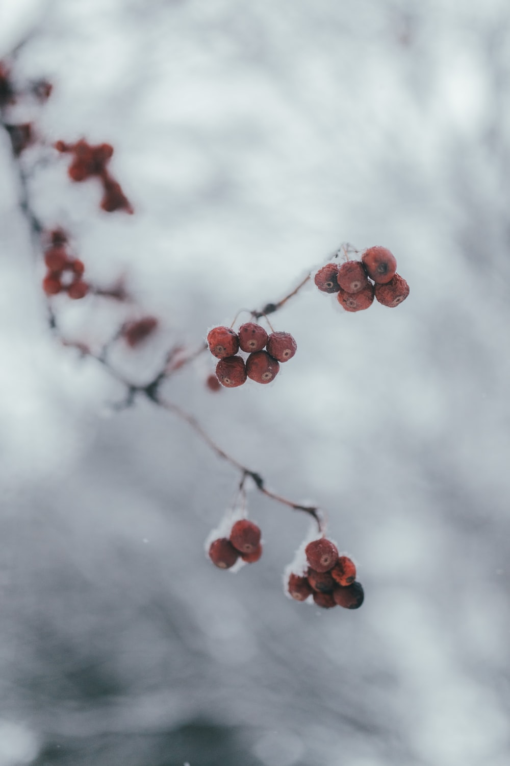 red round fruits on tree branch under white clouds