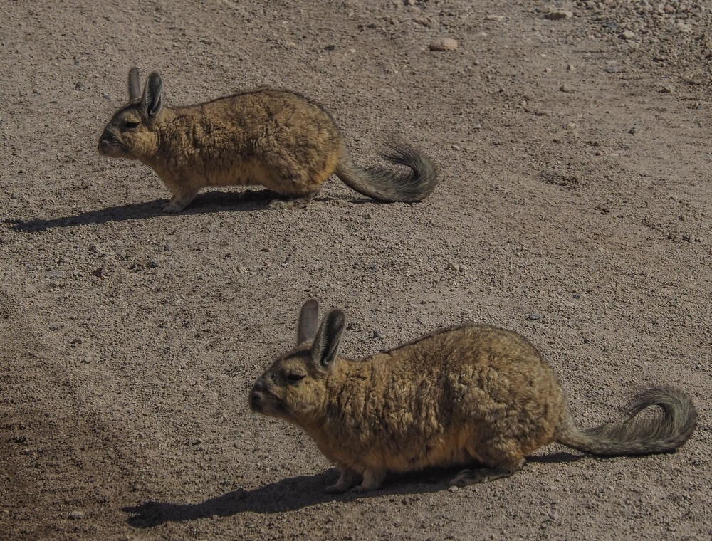 two brown and black rabbit on gray sand during daytime