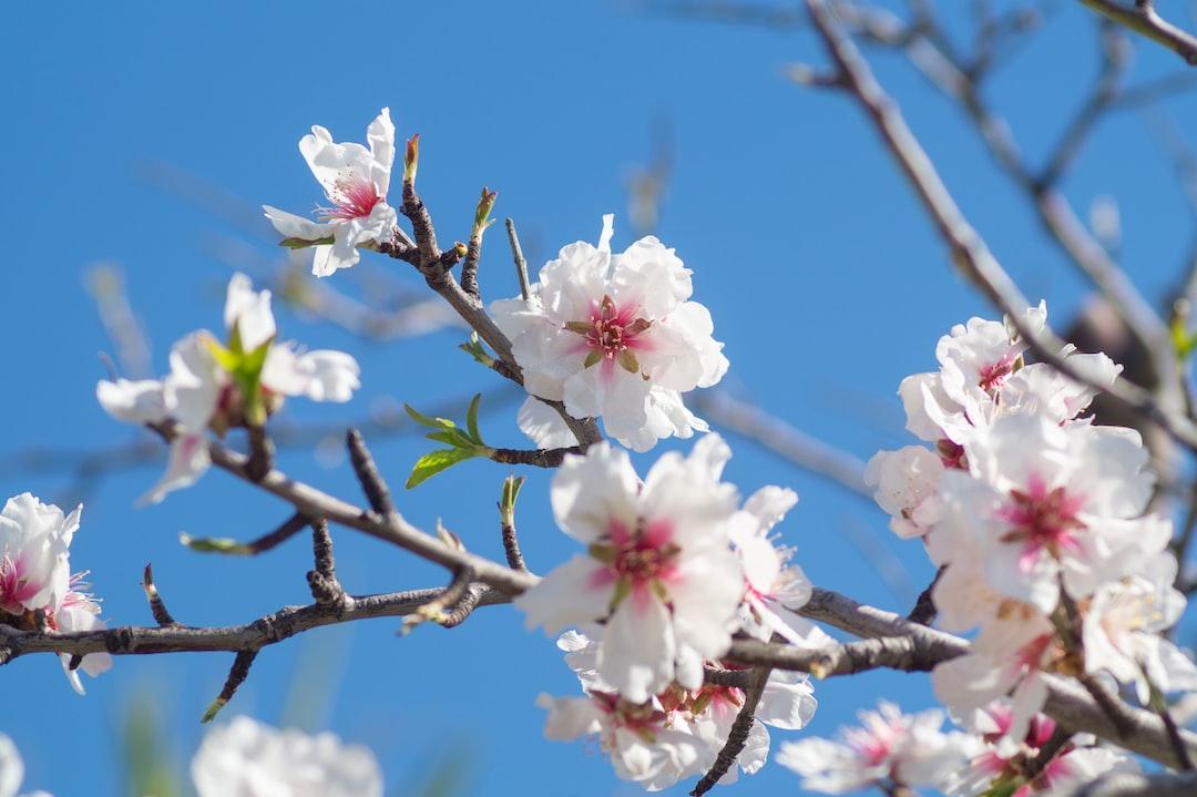 Spring Tree, Cherry Blossom, Pink, Blue, Sky