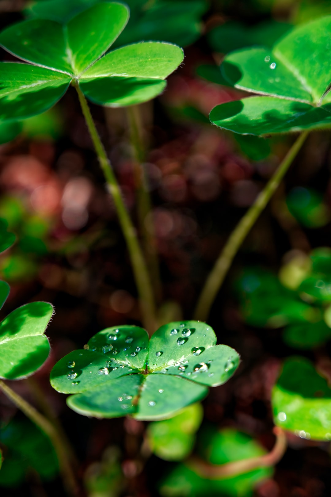 Close up shop of a 3 leaf clover with water drops