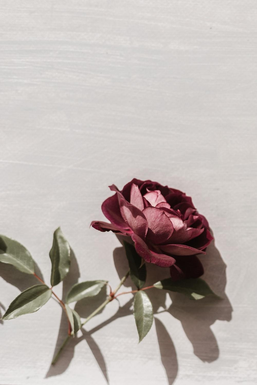 pink rose on white textile