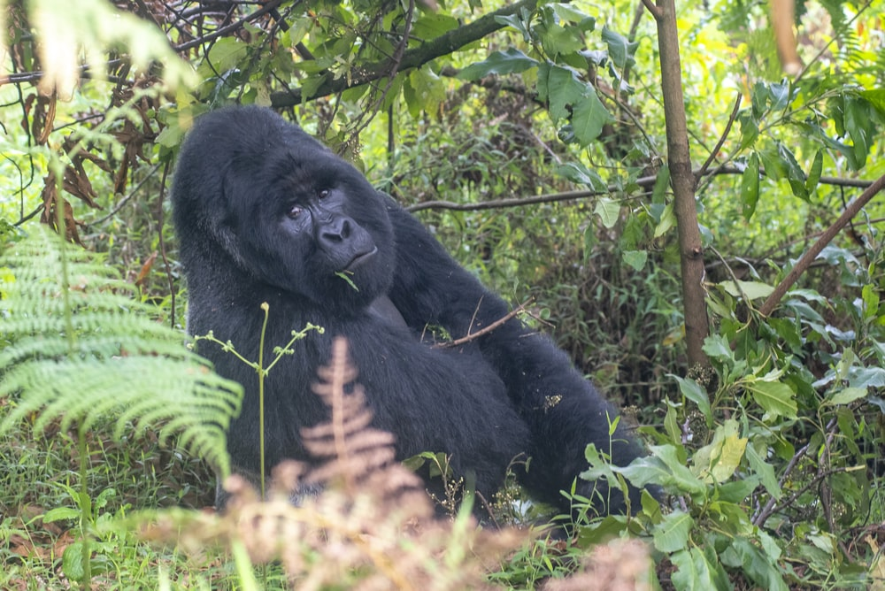 black gorilla surrounded by green plants