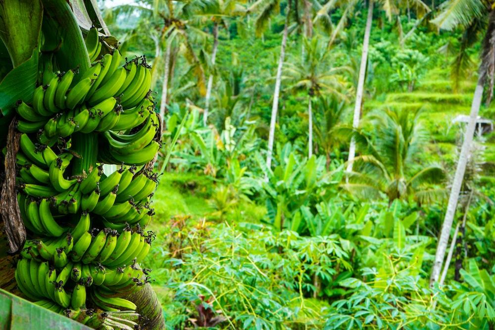 green banana fruit on green leaves