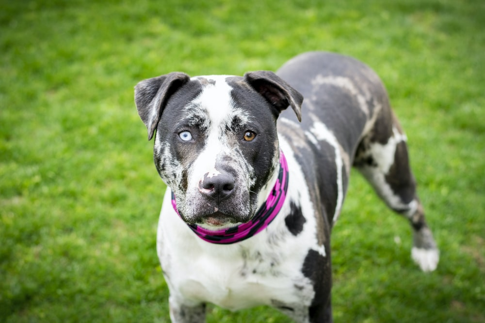 black and white american pitbull terrier mix on green grass field during daytime