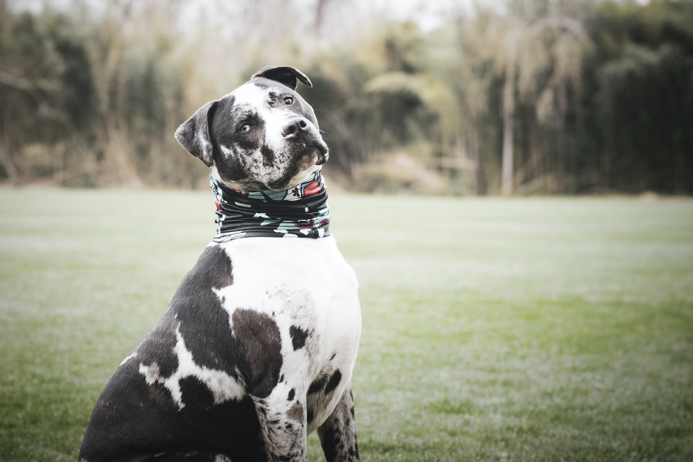 black and white dalmatian on green grass field during daytime