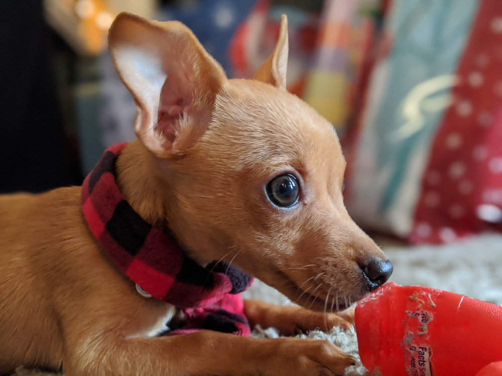 brown chihuahua wearing red and white scarf