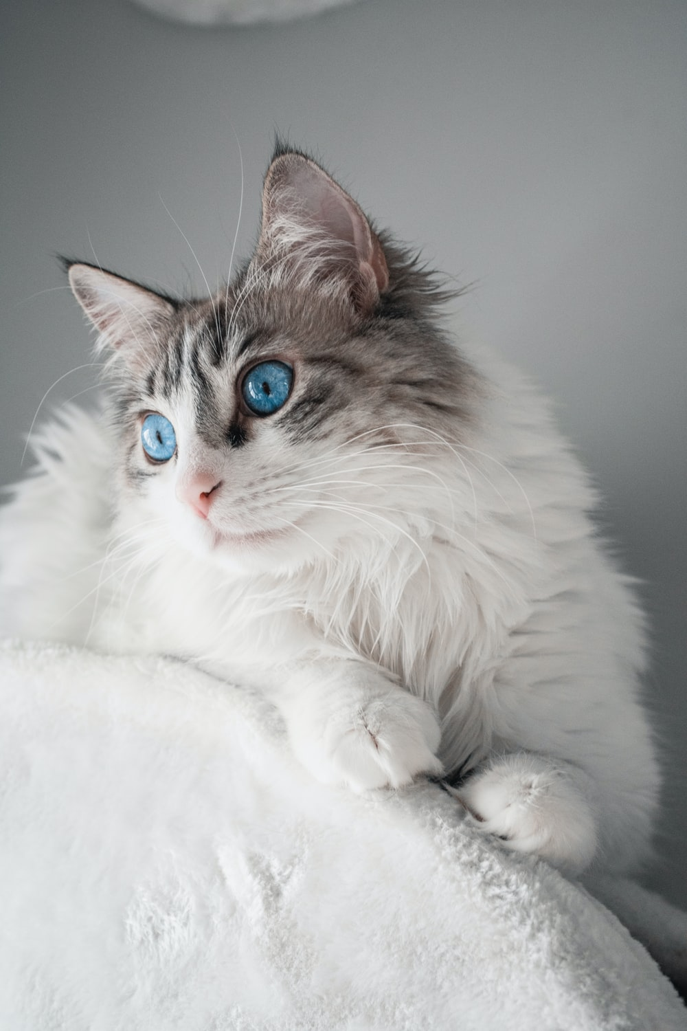 white and brown long fur cat