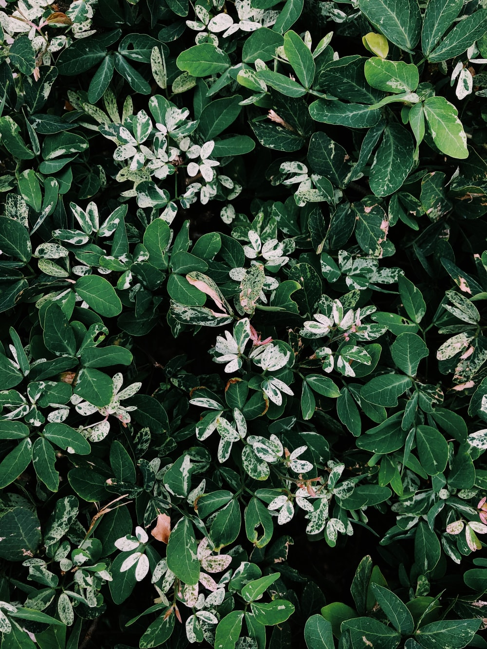 Pink And White Flowers With Green Leaves Photo Free Acanthaceae Image On Unsplash