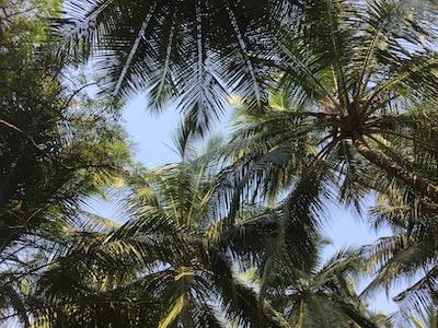 Bhayandar green palm tree under blue sky during daytime