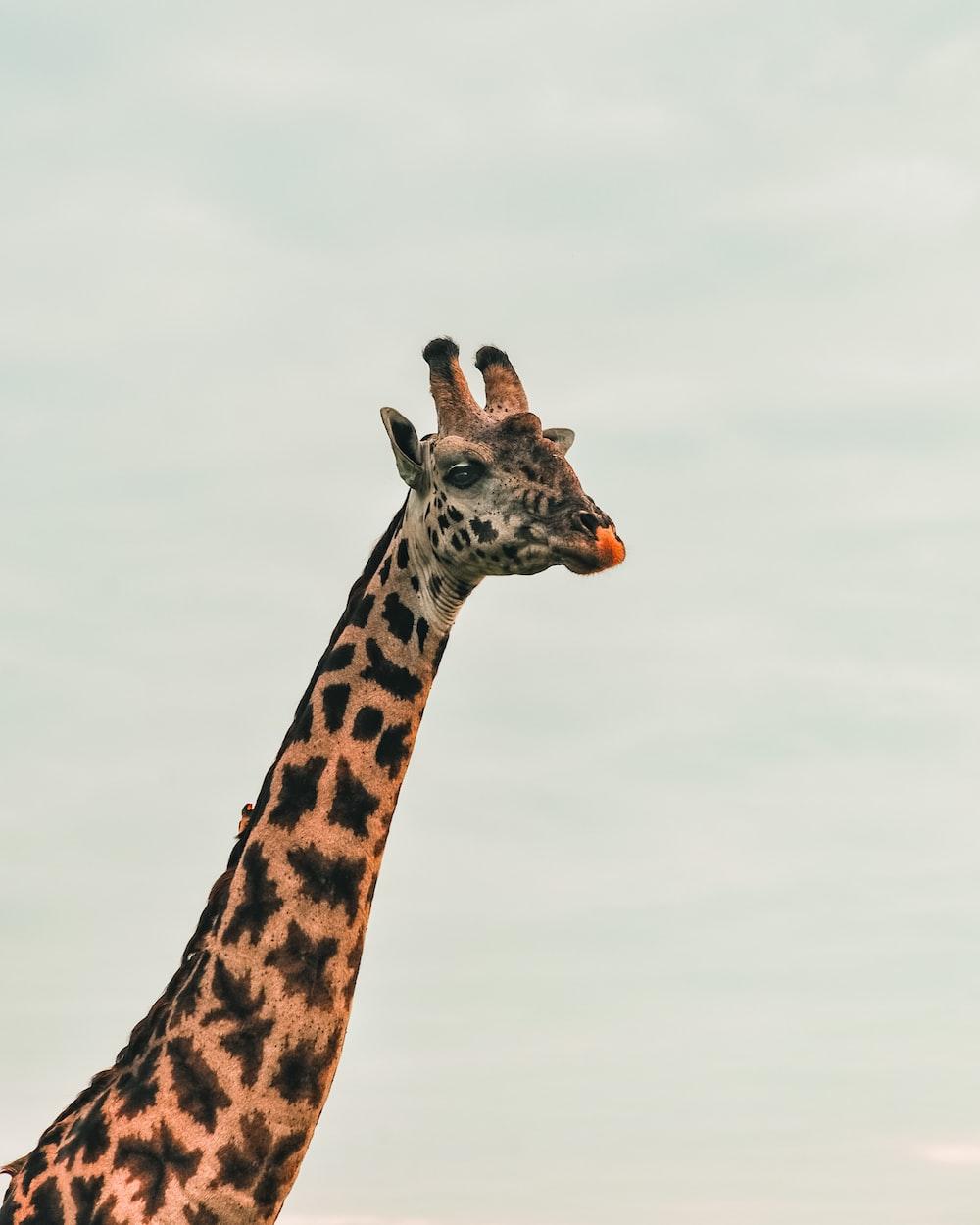 brown and black giraffe under white sky during daytime
