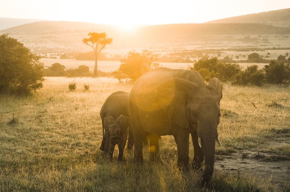 elephant walking on green grass field during sunset