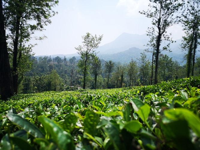 Wayanad tea estates during Monsoon