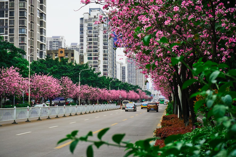 pink cherry blossom trees near city buildings during daytime