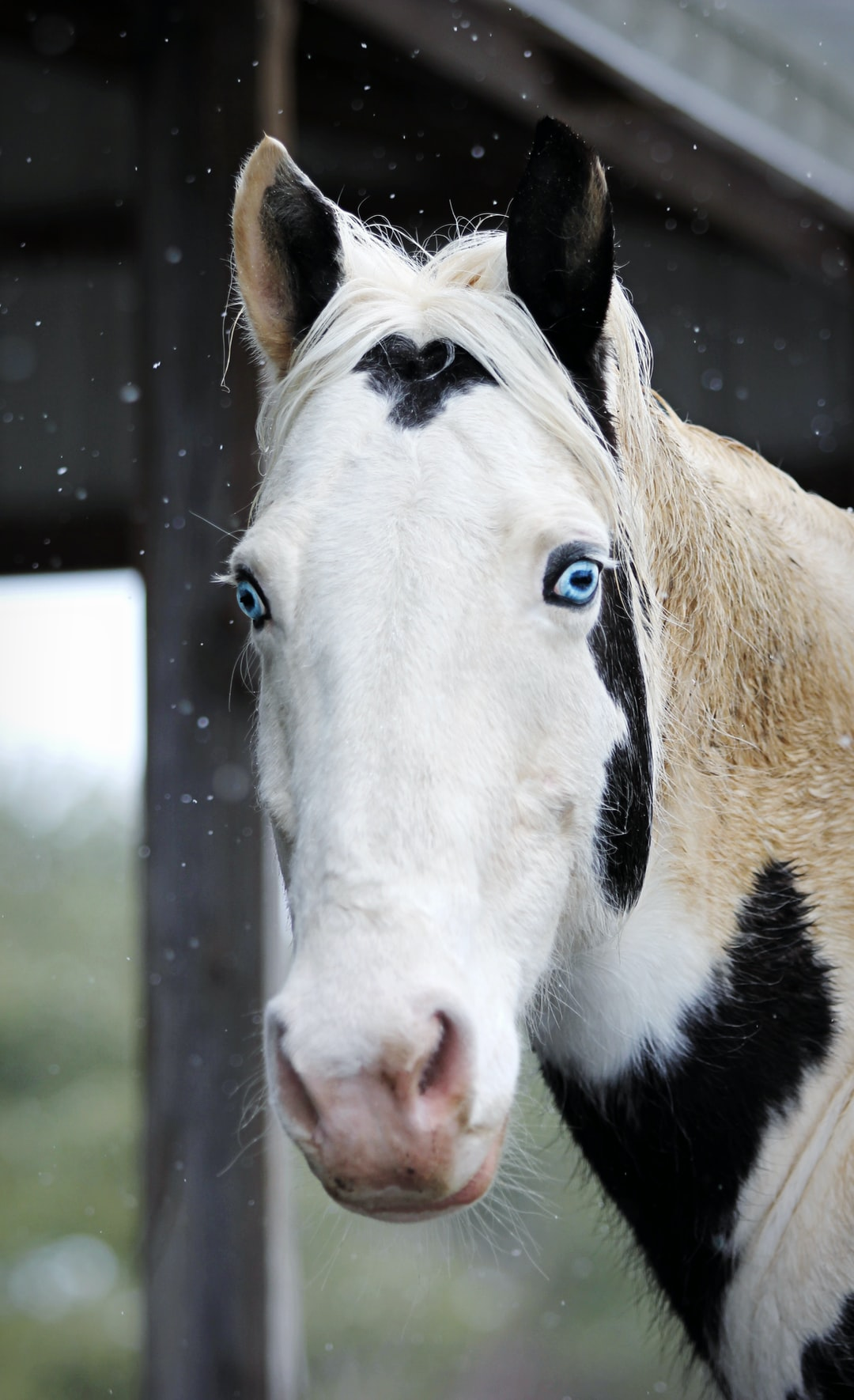 A paint horse with blue eyes poses.