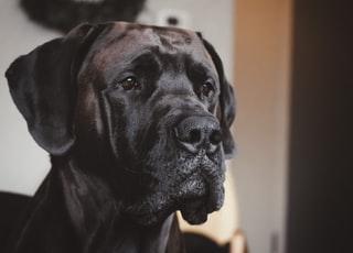 black labrador retriever in close up photography