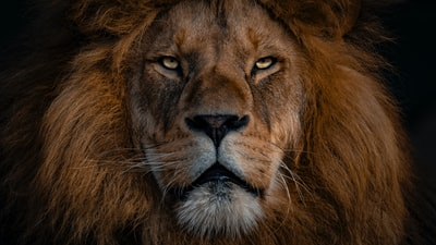 brown lion with silver chain link necklace lion teams background