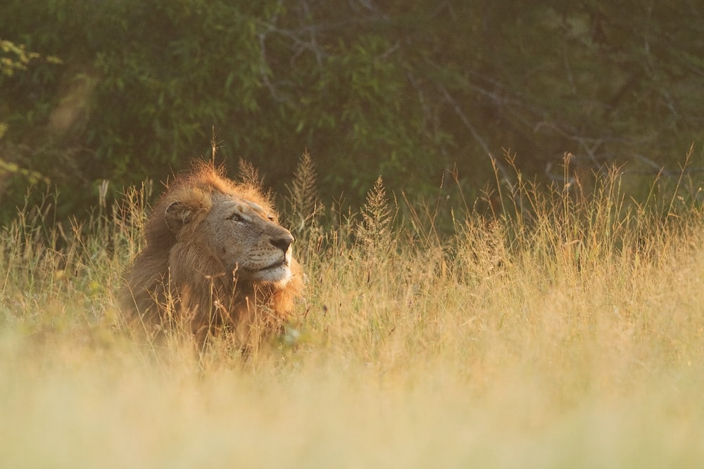 brown lion lying on brown grass field during daytime