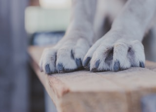 white short coated dog on brown wooden table