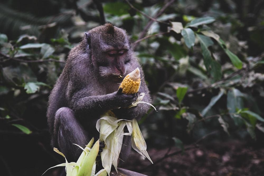 black monkey eating corn during daytime