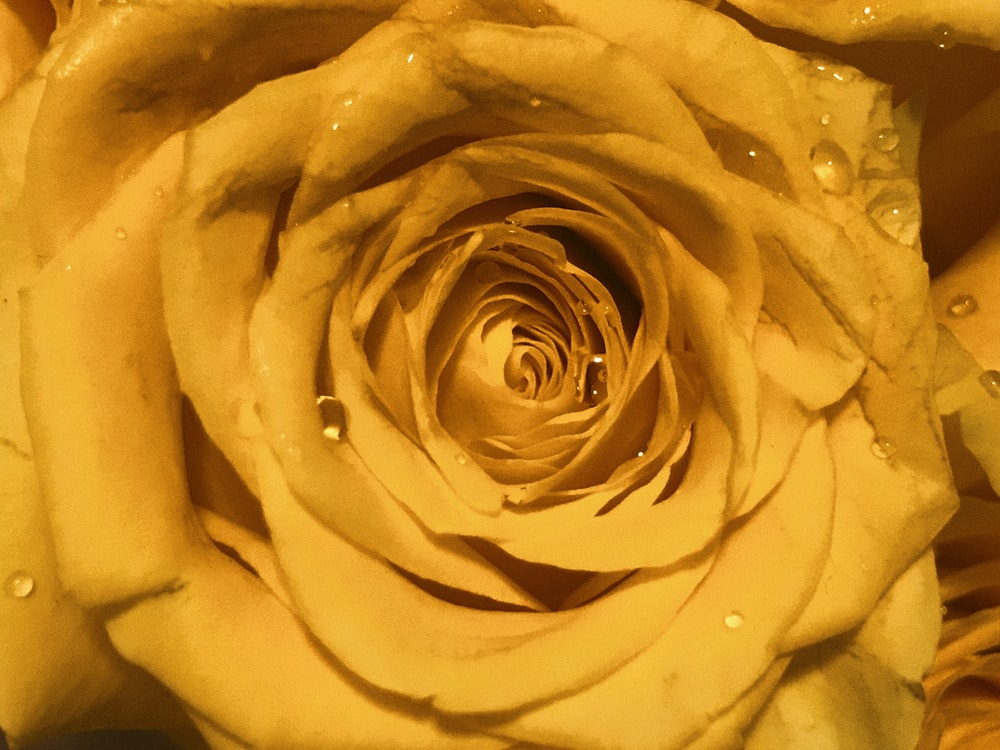 yellow rose in close up photography