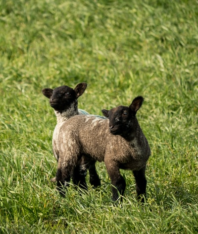 brown and white sheep on green grass field during daytime