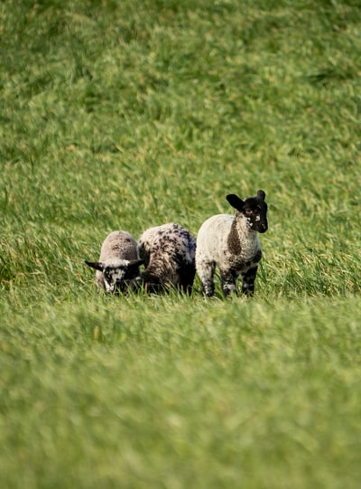 white sheep and gray sheep on green grass field during daytime