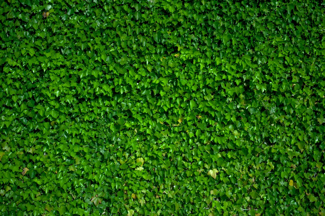 Wonderful uniform background from ivy, wall covered in ivy