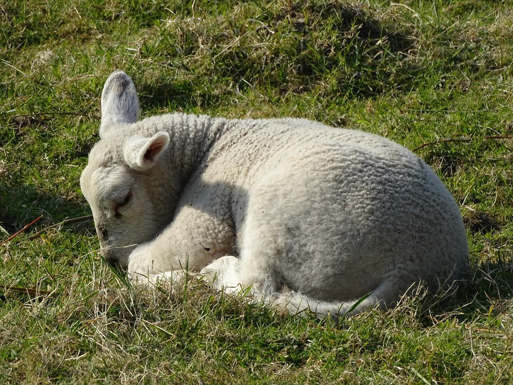 white and gray animal lying on green grass during daytime