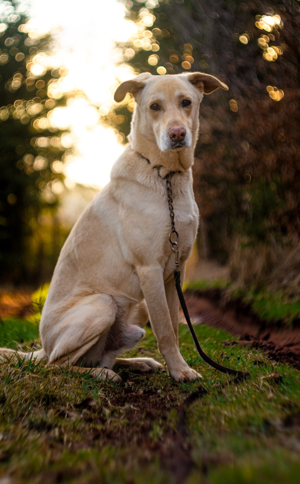 yellow labrador retriever with black leash sitting on grass field during daytime