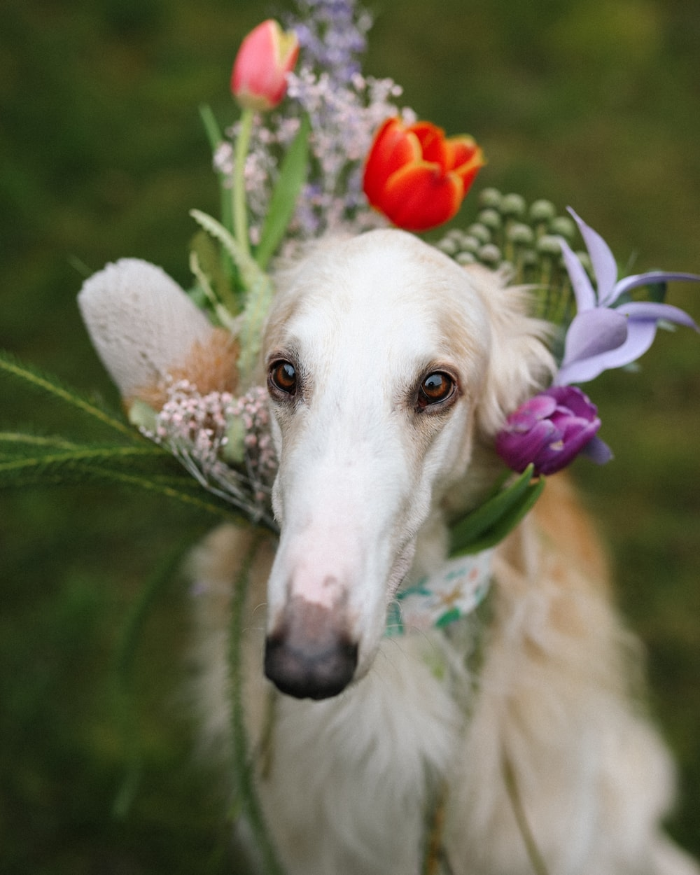 white and brown dog with purple flower on head