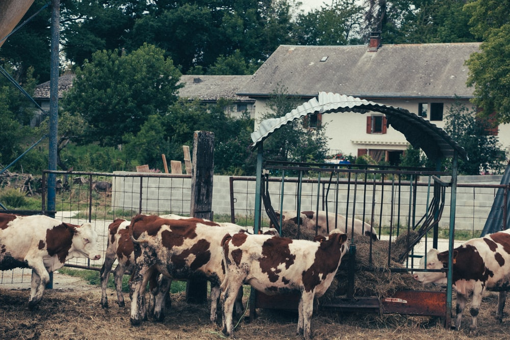 white and brown cow standing beside brown wooden fence during daytime