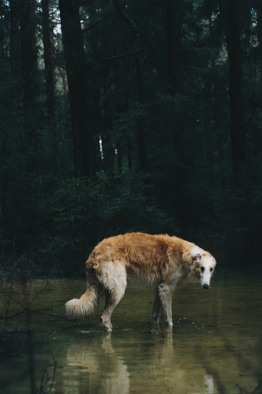 brown and white long coated dog standing on forest during daytime