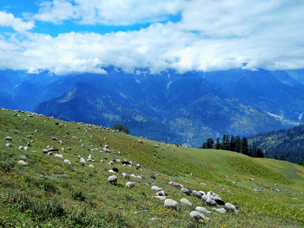 white sheep on green grass field near green trees and mountains under white clouds and blue