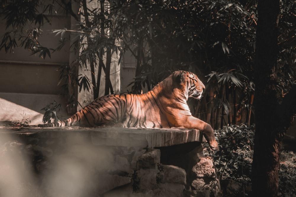 tiger lying on rock during daytime