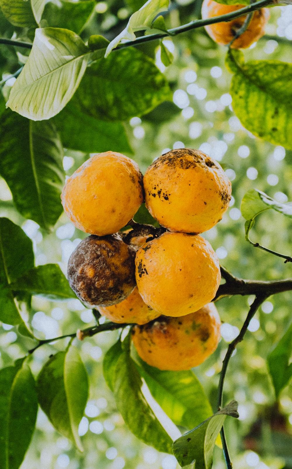 orange fruit on tree branch