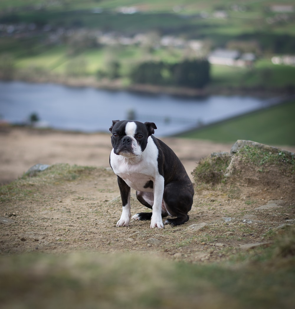 black and white short coated dog on brown soil near body of water during daytime