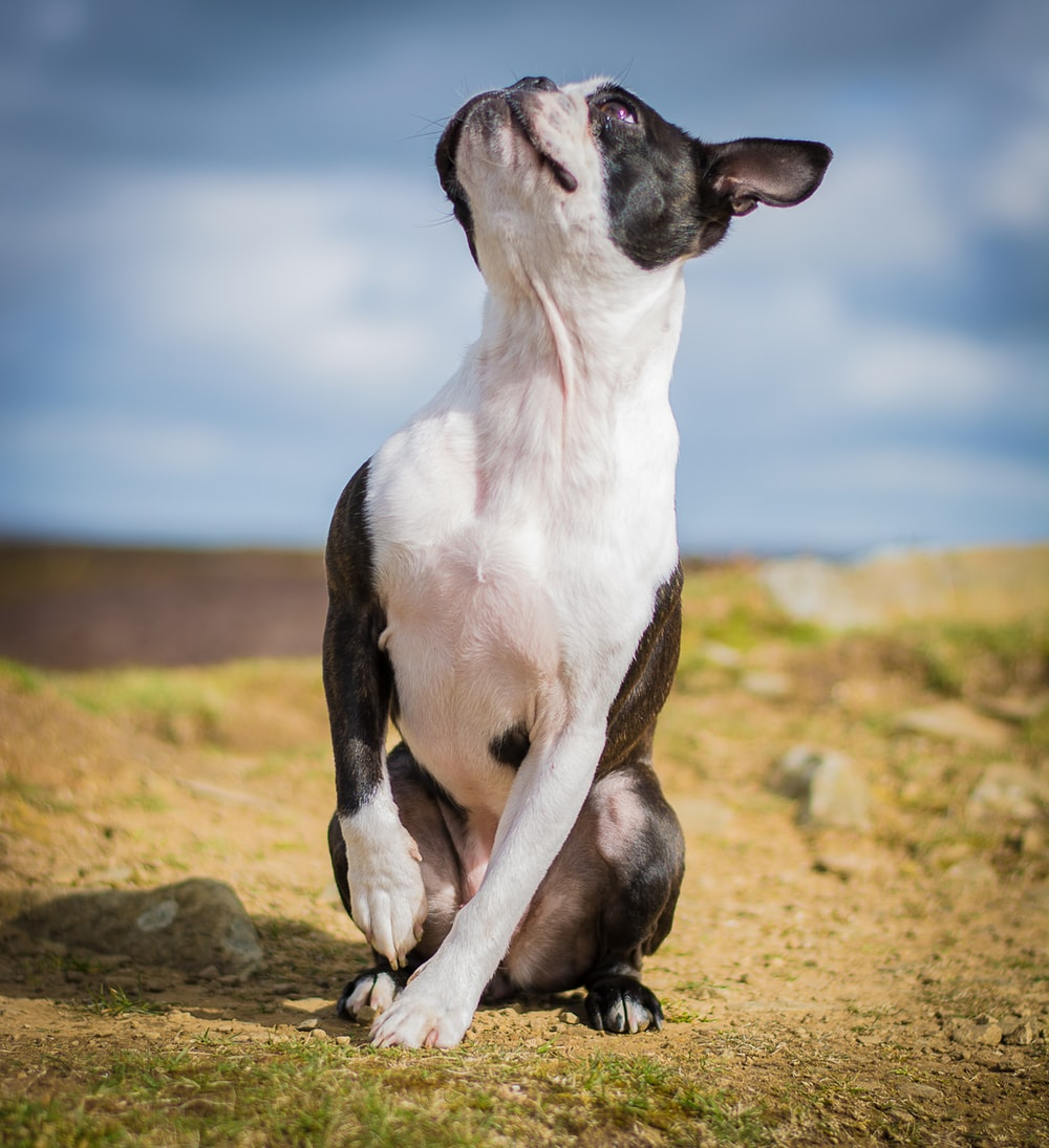black and white short coated dog on brown ground during daytime