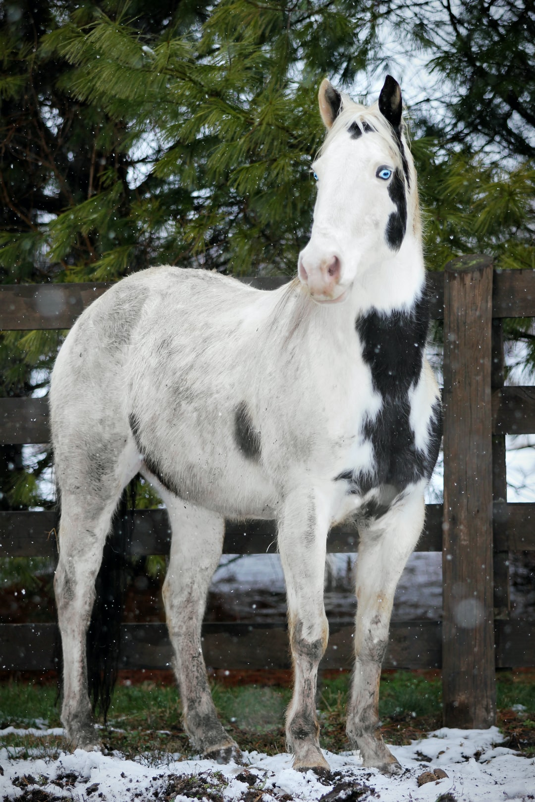 A black and white paint horse stands in the snow.