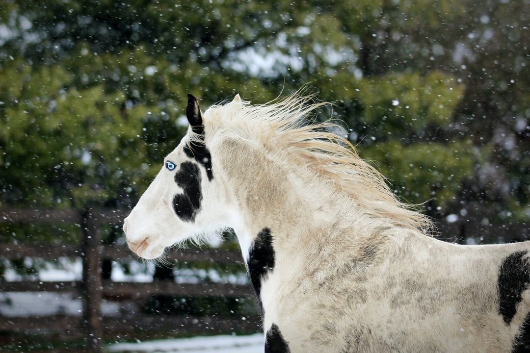 A black and white paint horse runs in the snow.