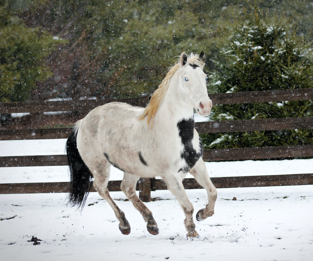 A black and white paint horse trots in the snow.