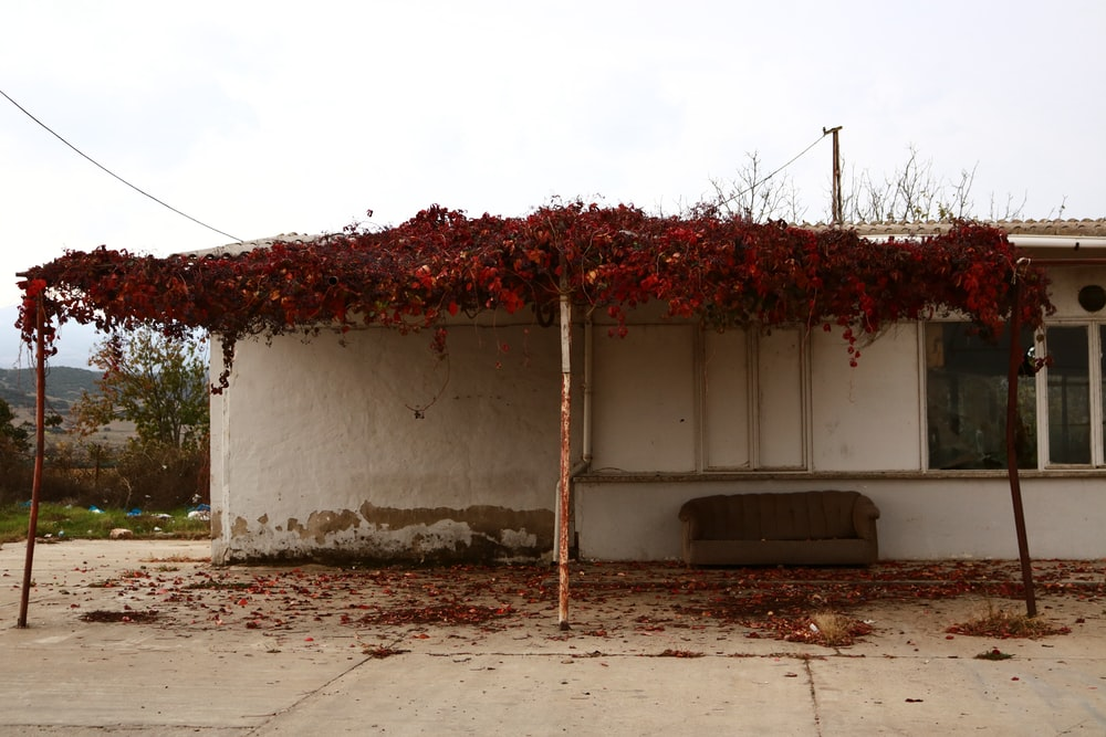 red and white vine plant on white concrete wall