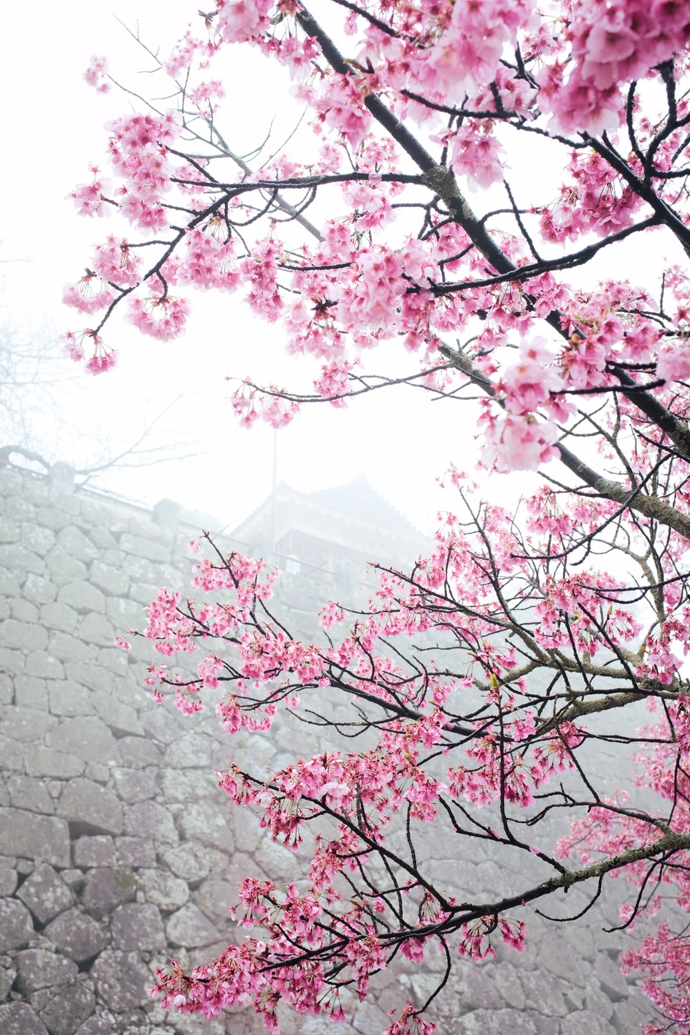 pink cherry blossom tree near gray concrete wall